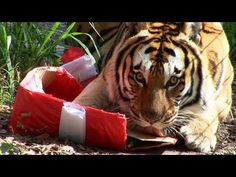 """Tigers Sing Jingle Bells! .... and destroy presents! Big Cats love Christmas time too! Watch Tigers, Lions, Leopards and more singing """"Jingle Bells"""" and destroying their Christmas presents! Big Cat Rescue is a non profit educational sanctuary home to over 100 rescued exotic cats."""