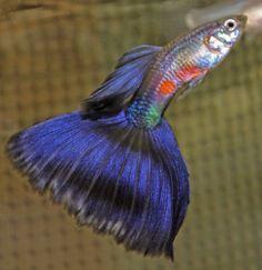 purple delta guppy #TropicalFishFreshwater