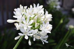 Agapanthus, @CareliaPetits flor blanca, natural, flor del amor, love flower  www.carelia.es