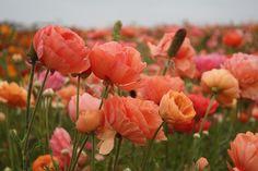 Carlsbad Flower Fields - a set on Flickr