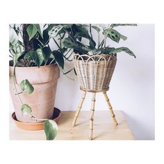 Our website is up! You can buy all our stuff now. Go to http://ift.tt/1Rmptzb. One of our favourite pieces is this bamboo plant basket  #homeware #planter #vintage #onlineshop  #interior #plants #koop #koopcollection #bamboo #urbanjungle #houseplants #newcastle by koopcollection