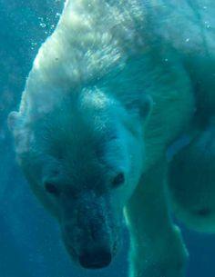 Philadelphia zoo polar bear