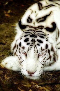 Wild life: White tiger - STUNNING ❤