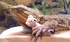 Meet Pringle, The Most Adorable (And Famous) Bearded Dragon On The Internet