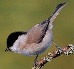 Minder talrijke tuinvogels - Natuurpunt