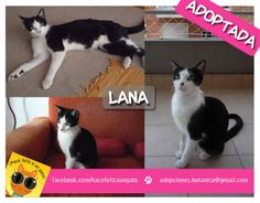 Lana (ex Juana) es una gata con mucha suerte. No sólo encontró una familia que la llena de amor, si no que su adopción fue express! Si !! fue amor a primera vista, un flechazo al medio del corazón!!! Gracias Yami por adoptarla!
