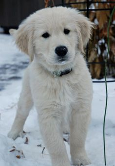Via Daily Puppy Puppy Breed Golden Retriever Wilco Joined Our Family On Remembrance Day November 11 He S Named Retriever Golden Retriever Retriever Puppy