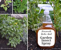 This Garlic Mint Inspect Spray will be your Plants saviour and it only uses 4 ingredients. Watch the video tutorial to see the amazing results.