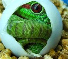 Giant Day Gecko Hatching  Phelsuma madagascariensis grandis by Joe Farah