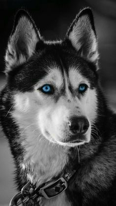 Animals Discover What fruits of the Husky are inedible? Cute Husky Puppies, Puppy Husky, Siberian Husky Puppies, Siberian Husky Blue Eyes, Husky Eyes, Siberian Huskies, Beautiful Dogs, Animals Beautiful, Beautiful Pictures