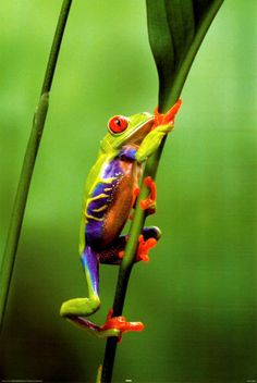"""This Red-Eyed Tree Frog is saying """"Good Morning"""" to you @Ivy Blalock!"""