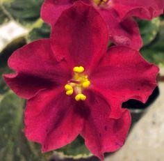 """African violet chimera """"Radience"""""""