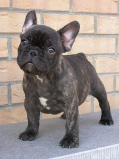 Bouledogue francais, Brindle French Bulldog Puppy