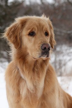 Discover The Intelligent Golden Retriever Grooming Puppies And Kitties, Cute Puppies, Cute Dogs, Doggies, Chien Golden Retriever, Golden Retrievers, Pitbull, Retriever Puppy, Beautiful Dogs