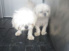 LA PORTE, TEXAS...near HOUSTON~Cottonball is an adoptable Shih Tzu Dog in LaPorte, TX. La Porte is a small shelter and cannot hold cats for too long due to a lack of space - you are their only hope! Please come to see this sweetie ...