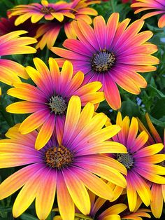 How to Plant Potted Flowers Outdoors in the Soil : Garden Space – Top Soop Bulb Flowers, Flowers Nature, Exotic Flowers, Amazing Flowers, Pretty Flowers, Gazania Flowers, Beautiful Flowers Pictures, Gerbera Daisies, Colorful Flowers