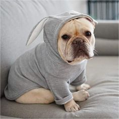 The major breeds of bulldogs are English bulldog, American bulldog, and French bulldog. The bulldog has a broad shoulder which matches with the head. Cute Bulldogs, Cute French Bulldog, French Bulldog Clothes, French Bulldog Products, Rabbit Ears, Pet Costumes, Dog Hoodie, Medium Dogs, Bulldog Puppies