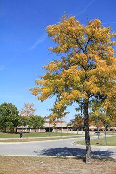 Yellow Tree on Center Campus!