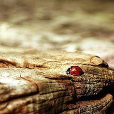 ladybug, brown, nature, beetle, insect