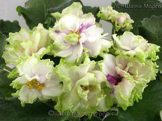 ЛЕ-Шато Марго Очень крупные, махровые белые цветы с утолщённой зелёной каймой и лёгким, розово-фуксиевым свечением из центра. Лист волнистый, светлый. (Спорт от сорта ЛЕ-Шато Брион) Св.лист 13.07.15 г. Если б не увидела это чудо живьем - не взяла бы. Но фото не отражает прелести сорта, цветок очень крупный, махровый, с вариабельными тенями из центра и зеленоватой каймой. Очень красив!!