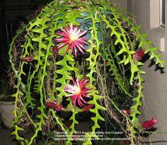: Selenicereus anthonyanus) Wüstenpflanzen Fishbone Cactus Care – How To Grow And Care For A Ric Rac Cactus Houseplant Succulent Gardening, Cacti And Succulents, Planting Succulents, Cactus Plants, Planting Flowers, Indoor Cactus, Cacti Garden, Succulent Arrangements, Succulent Terrarium