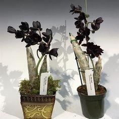 """Orquídea Negra Fredclarkeara After Dark """"SVO Black Pearl"""" FCC/AOS - Cor Natural - Jardim Exótico - O maior portal de mudas do Brasil."""