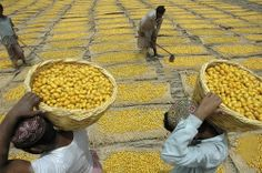 Pakistani farmers dry fresh dates to preserve them during the July harvesting season in Sukkur, 480 km (300 miles) from Karachi,. Agriculture is the mainstay of Pakistan's economy, generating one-fourth of the gross domestic product and 44 percent of the total employment in the country of more than 140 million people, according to the Agriculture Ministry. PHOTO JAHANGIR KHAN
