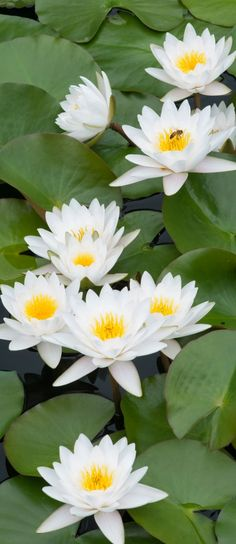 Water lilies - Lotus Flowers