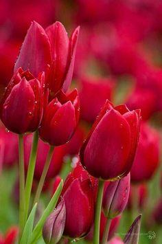 red Tulips Bloom on We Heart It - Imgend Red Tulips, Tulips Flowers, Flowers Garden, My Flower, Daffodils, Pretty Flowers, Spring Flowers, Planting Flowers, Flower Shape