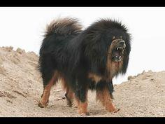 El Mastín Tibetano - SobreNaturaleza