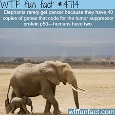 Why elephants rarely get cancer!   ~WTF awesome fun facts
