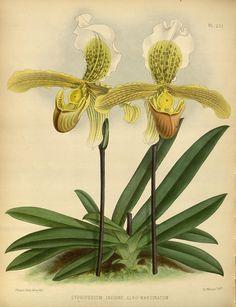 jomobimo:  Plate 232, Orchid album :. London :B. S. Williams,1882-97