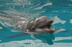 Nicholas, the Dolphin at Clearwater Marine Aquarium ... JhC
