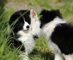 Border Collie puppies high five. Cute Puppies, Cute Dogs, Dogs And Puppies, Doggies, Border Collie Puppies, Collie Dog, West Highland Terrier, Australian Shepherds, Husky