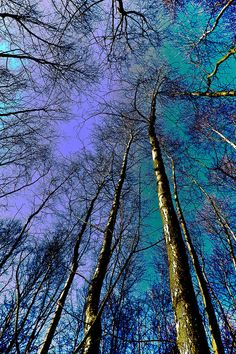 Blue Forest Trees