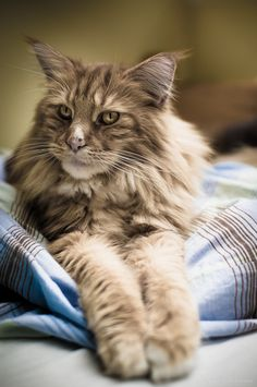Maine Coon likes to chill out...