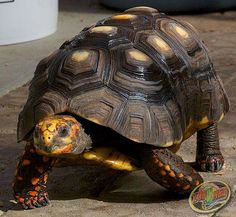 There are numerous types of tortoise, including the Red Footed Tortoise, the African Spurred Tortoise, and the species picked most commonly as pets Turtle Time, Pet Turtle, Reptiles And Amphibians, Mammals, Types Of Turtles, Red Footed Tortoise, Animals And Pets, Cute Animals, Land Turtles