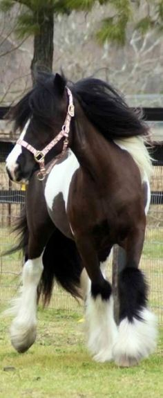 Pinto horse in motion. - Horse photography