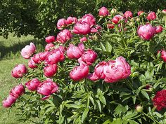 - - (notitle) In the Garden Peony Care, Growing Peonies, Gardening Zones, Gardening Tips, Potager Garden, Garden Structures, Garden Planning, Horticulture, Organic Gardening