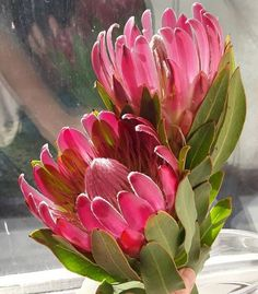 While getting groceries I spied this fresh duo in the clearance bin. Now, it's nowhere near Alaska weather, but I'd be… Protea Art, Protea Bouquet, Protea Flower, Exotic Flowers, Tropical Flowers, Beautiful Flowers, Exotic Plants, Australian Native Flowers, Australian Plants