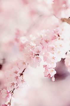Image about pink in - sakura by ຖ໐๓i on We Heart It Cherry Blossom Wallpaper, Sakura Cherry Blossom, Flower Wallpaper, Cherry Blossoms, Flower Aesthetic, Pink Aesthetic, Pretty In Pink, Beautiful Flowers, Couleur Rose Pastel