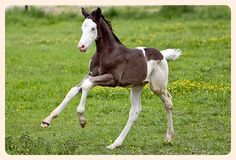Tobiano (Black Piebald) - Pictured is Something To Talk; Trakehner colt - No Paint genes! But his dam always throws foals with some sort of paint coloring... very cool