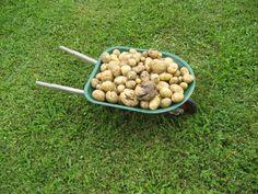 Potatoes as soil breaker