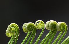 The Nature's Notes of Melody: A Macro Experiment With Young Cycas Leaves. Soccer Predictions, Free Football, Plant Pictures, Cactus Plants, Mother Nature, Amazing Photography, Flowers, Fern, Experiment