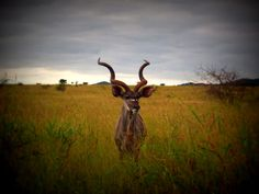 Normally the Kudu is a very shy species – it was lovely to see this majestic bull staring at us quite happily from the roadside.