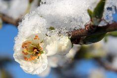 Kwiat, Śliwy, Gałązka, Śnieg, Wiosna