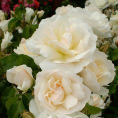 Rose Easy Elegance® Champagne Wishes