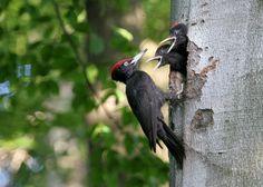 Datel černý (VIDEO) | Šplhavci Birds, Animals, Birdhouses, Animales, Animaux, Bird, Animais, Animal