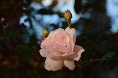New dawn  ruusu lokakuussa
