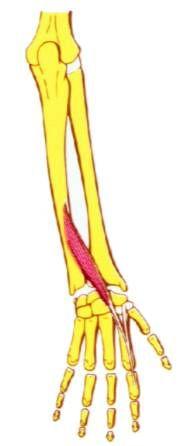 Musculo extensor propio del dedo indice